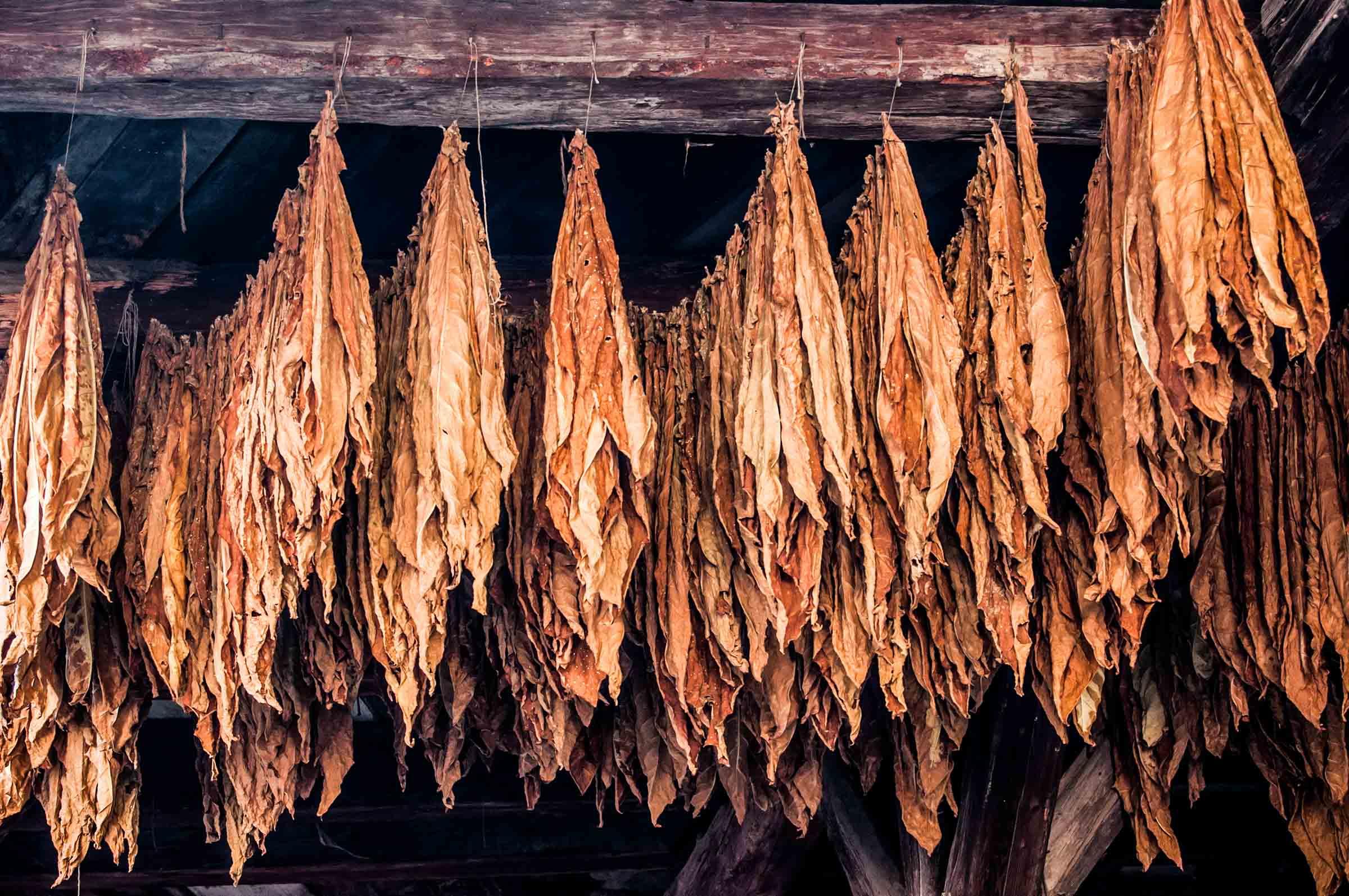 Zigarrendreher | Zigarrenroller | Kuba | Tabak | Deckblatt | Handgedreht | Havanna | Zigarre | Bandarole | Umblatt | Event | Buchen | Zigarrenmanufaktur