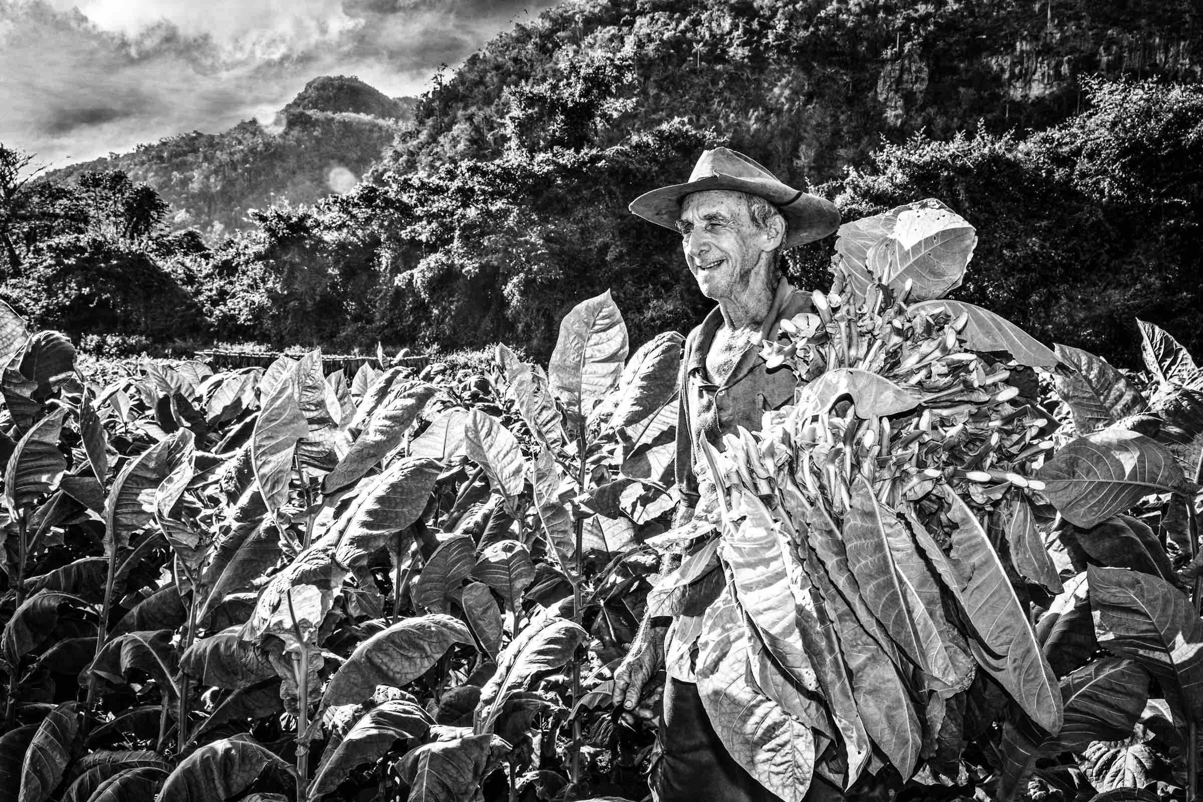 Zigarrendreher | Zigarren | Sumatra | Tabak | Rohtabak | Indonesien | Deckblatt | Umblatt | Longfiller | Shortfiller